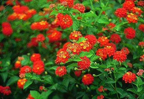 Lantana Camara Red Colour Flowering Plant At Rs 12 Piece
