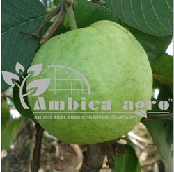 GUAVA PLANTS - Tissue Culture Pink Guava Plants Manufacturer from Anand