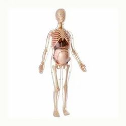 HUMAN ANATOMICAL MODEL