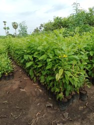 Full Sun Exposure Tecoma Yellow Plant, For Garden
