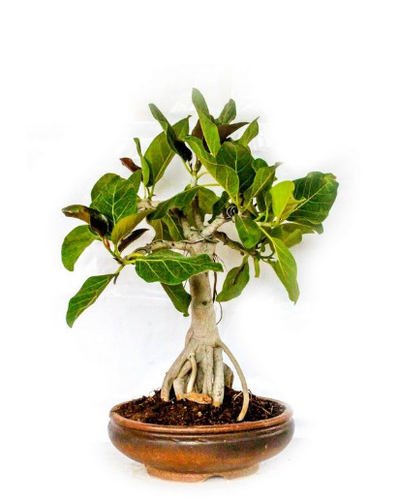 Ficus Microcarpa Ginseng Bonsai At Rs 16500 Piece Subash Nagar