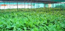 Tissue Cultured Plant