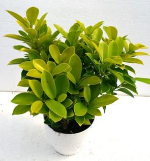 Ficus Benjamina Panda Indoor Plant at Rs 50 /piece | Indoor Potted ...