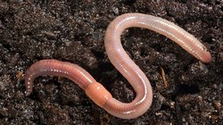 Soil Earthworms