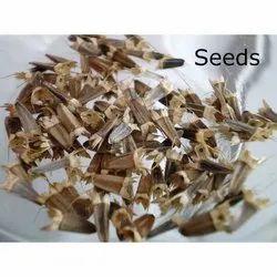Tithonia Seed