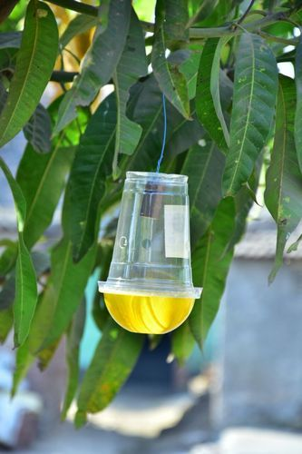 Green Revolution Yellow and Transparent IPM / Easy Fruit Fly Trap, Pack Size: 50nos