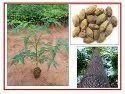 RK Seeds - Melia Dubia Plants - Malabar Neem Plants