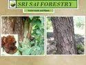 Pterocarpus Marsupium Plants