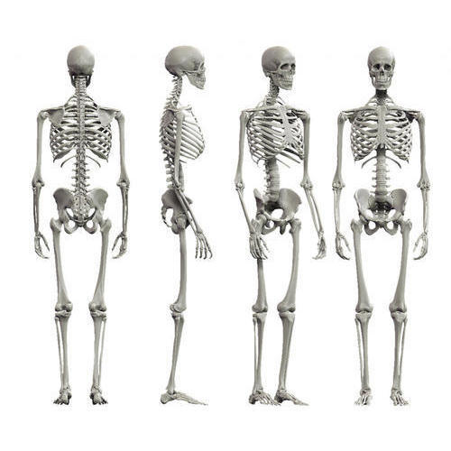 human skeleton model at rs 21000 piece human skeleton model