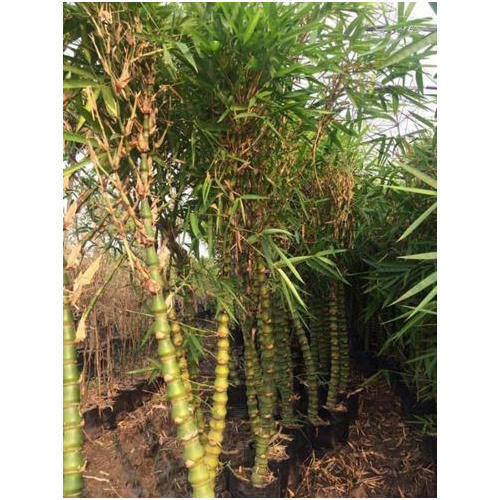 Peachy Buddha Belly Bamboo Plants Interior Design Ideas Oteneahmetsinanyavuzinfo