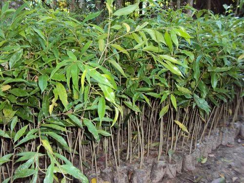 Agarwood Plant At Rs 130 Piece अगर का पौधा अगर प्लांट