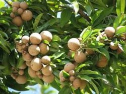 Chiku Fruits Plants