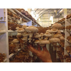 Shitake Mushroom Extract