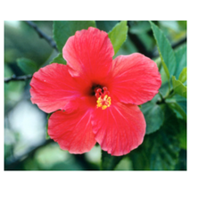 Hibiscus Rosa Sinensis Wholesale Price For Shoe Flower In India