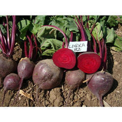 Rijkzwaan Red Beetroot Seeds Larka for Agriculture