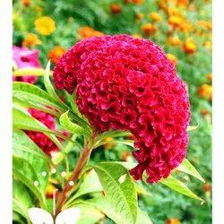 Cockscomb Flower Seeds