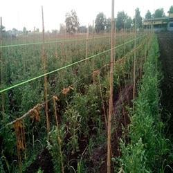 APEX Natural Twisted Polywire for Vine Crop Support and Pandal System