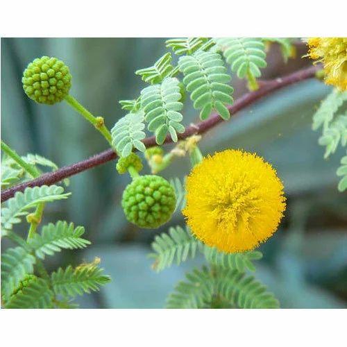 Acacia Arabica Extract At Rs 750 Kilogram Acacia Arabica Id