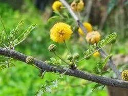 Acacia Nilotica Leaf Extract