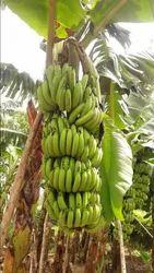 Gujrat Bananas And Patetos Natural Banana, Packaging Size: 20 Kg, Packaging Type: Crate