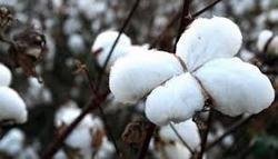 MECH-1 Cotton