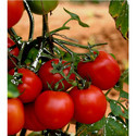 Hybrid Tomato Seeds TM - 1410