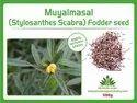 Natural Stylo Scabra Grass (muyalmasal) Fodder Seeds 500gm