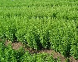 1 Stevia Cultivation Consultancy, Tamil Nadu, Type Of Industry Business: 1