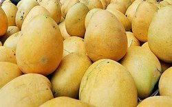 Yellow Organic Fresh Banganapalli Mangoes, Carton