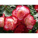 Rose Attar Grade A