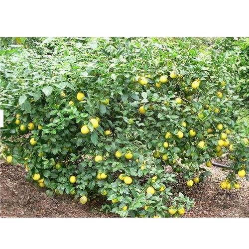 Lemon Plant At Rs 25  Number