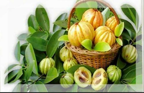 Garcinia Cambogia Brindall Berry Kudampuli Malabar Tamarind