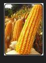 Hybrid Maize Pushtti
