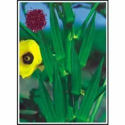 Super Anamika  Open Pollinated Lady Finger Seeds