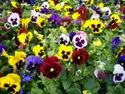 Pansy Flower Plant