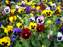 Pansy Flower Plant