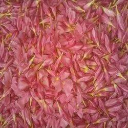 Fresh Arali Flower Bud