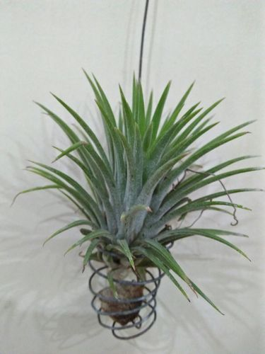 Image result for Tillandsia