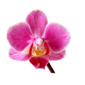 Hybrid Phalaenopsis Flowers For Gifting