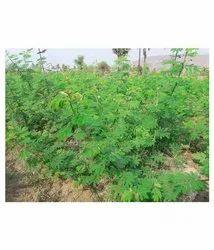 Hybrid Hedge Lucerne - Velimasal ( Desmanthus Virgatus )