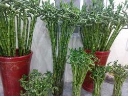 Dendrocalamus Asper Bamboo Plant at Rs 35 /piece(s) | Bamboo