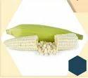 8000 Maize Hybrid Seeds