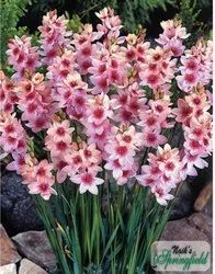 Ixia Pink Flower Bulbs