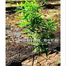 Sandalwood Plants (White)