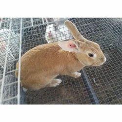 Baby Dwarf Rabbits at Rs 200 /piece | Live Rabbits, नस्ल