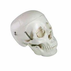 Human Skull Models