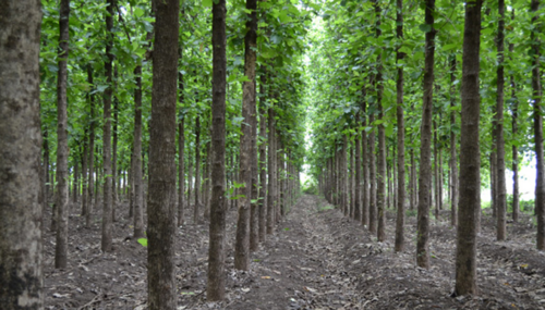 Teakwood Trees Plants View Specifications Details Of