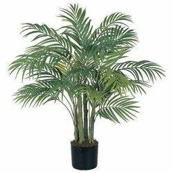 Arecanut Plant