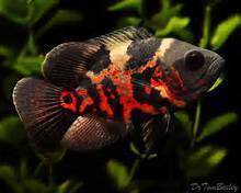 Black Tiger Oscar Fish