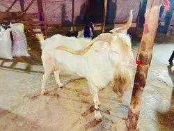 Lilliput Goats